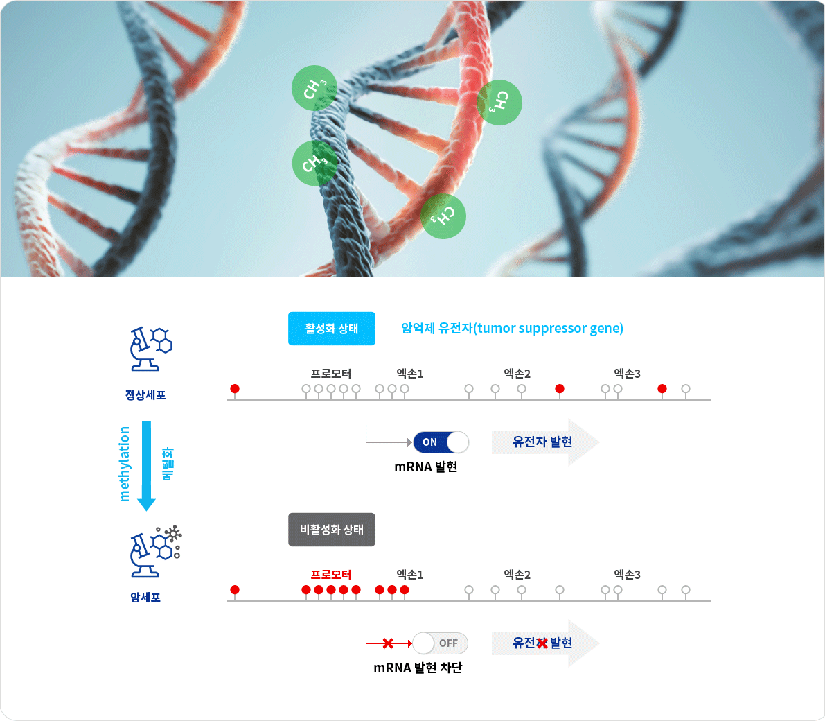 DNA Methylation (DNA 메틸화)